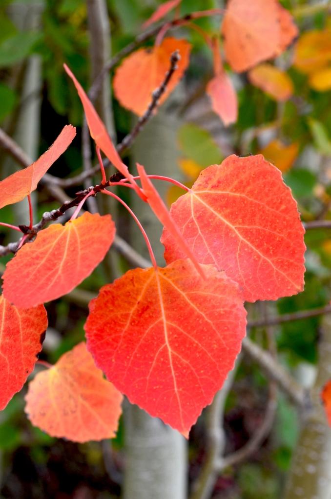 red leaf aspen