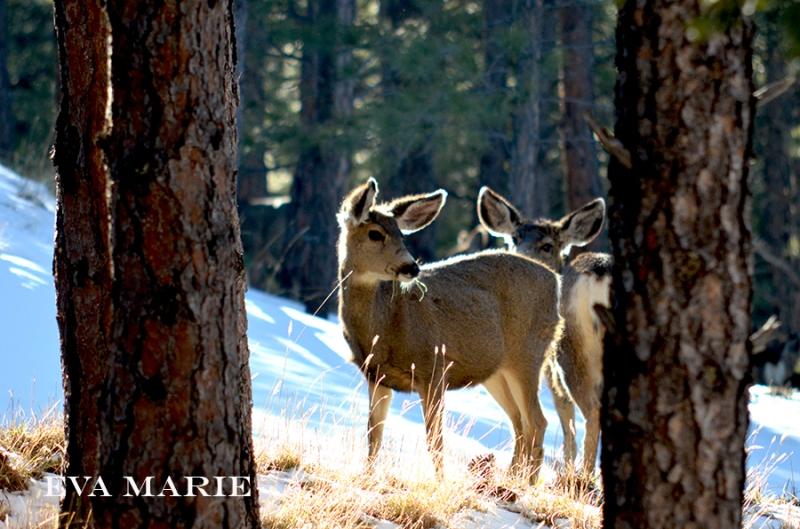 Deer-in-Yard